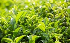 緑茶抽出物粉末